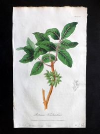 Cox Medical Botany 1822 Hand Col Botanical Print. Chian Turpentine Tree 125
